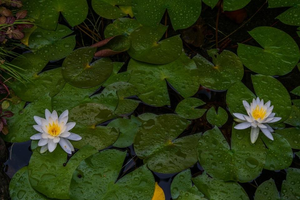 東林院~沙羅の花を愛でる会_e0363038_10372727.jpg