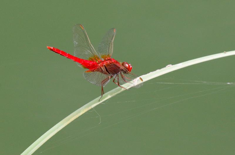 真っ赤なトンボとアジサイを・・・_f0368272_22404770.jpg