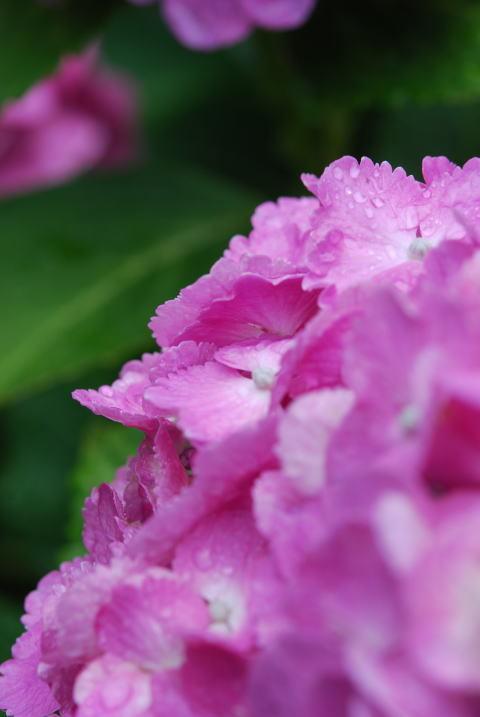 紫陽花が嬉しそう~~_b0189573_11122546.jpg