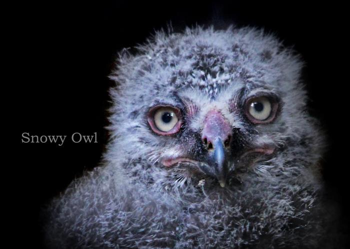 シロフクロウ:Snowy Owl_b0249597_05560418.jpg