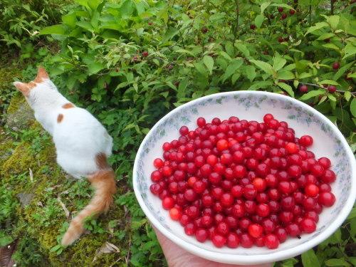 庭の赤い実~庭梅_d0336460_00294352.jpg