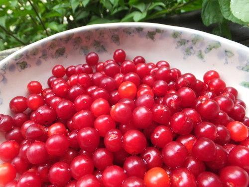 庭の赤い実~庭梅_d0336460_00302903.jpg
