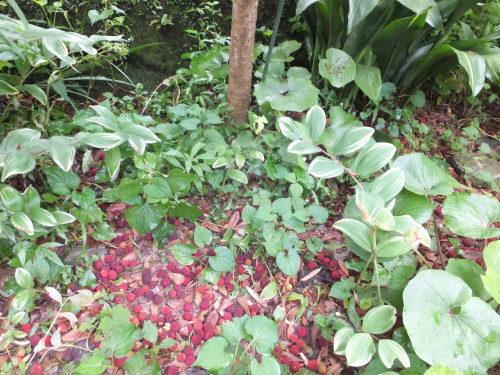 庭の赤い実~山桃_d0336460_00332714.jpg