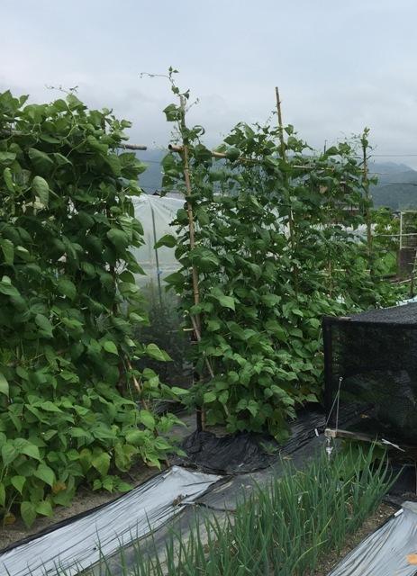 北摂の6月の家庭菜園・・その6_f0229190_11495421.jpg