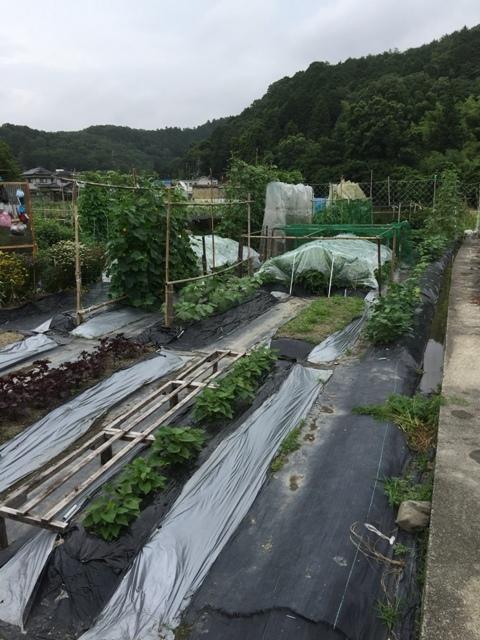 北摂の6月の家庭菜園・・その6_f0229190_11502162.jpg