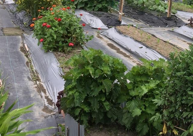 北摂の6月の家庭菜園・・その6_f0229190_12021732.jpg