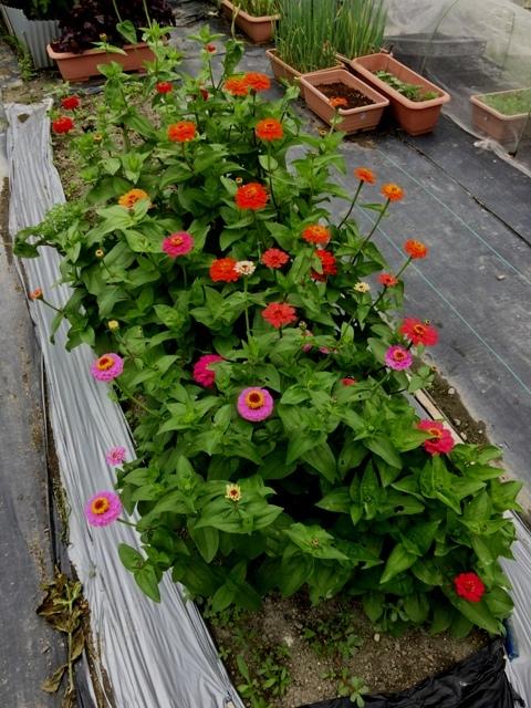 北摂の6月の家庭菜園・・その6_f0229190_12105007.jpg