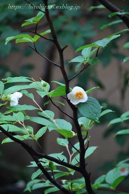 京都 妙心寺 東林院 沙羅の花を愛でる会_f0374092_22013038.jpg