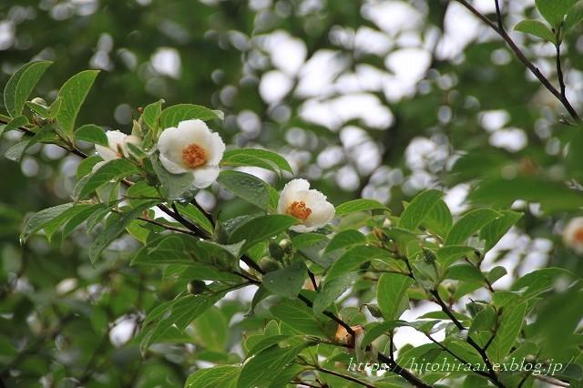 京都 妙心寺 東林院 沙羅の花を愛でる会_f0374092_22040538.jpg