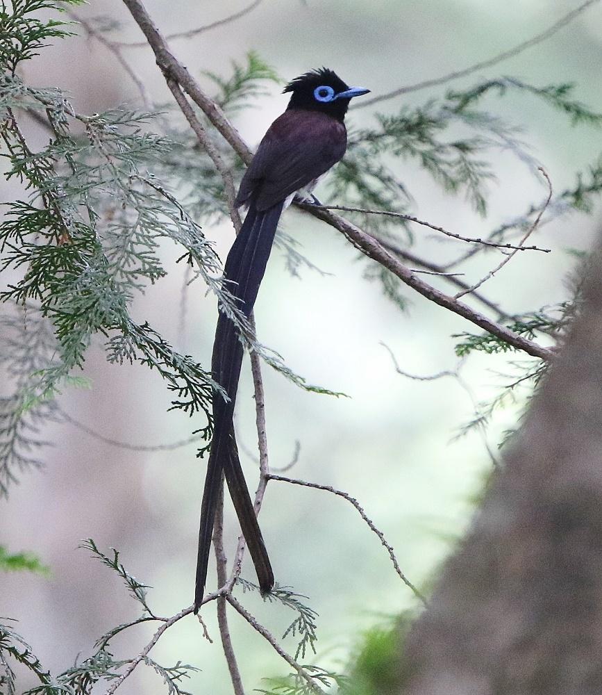 尾の長いオスはやはりきれいだ、、_f0305401_14213291.jpg