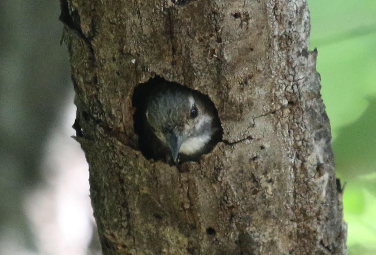コゲラの巣穴からの顔出し_f0239515_18281592.jpg