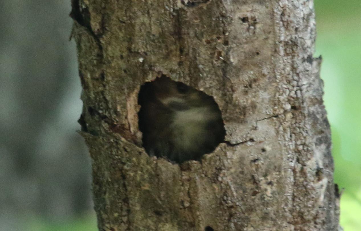 コゲラの巣穴からの顔出し_f0239515_18292294.jpg