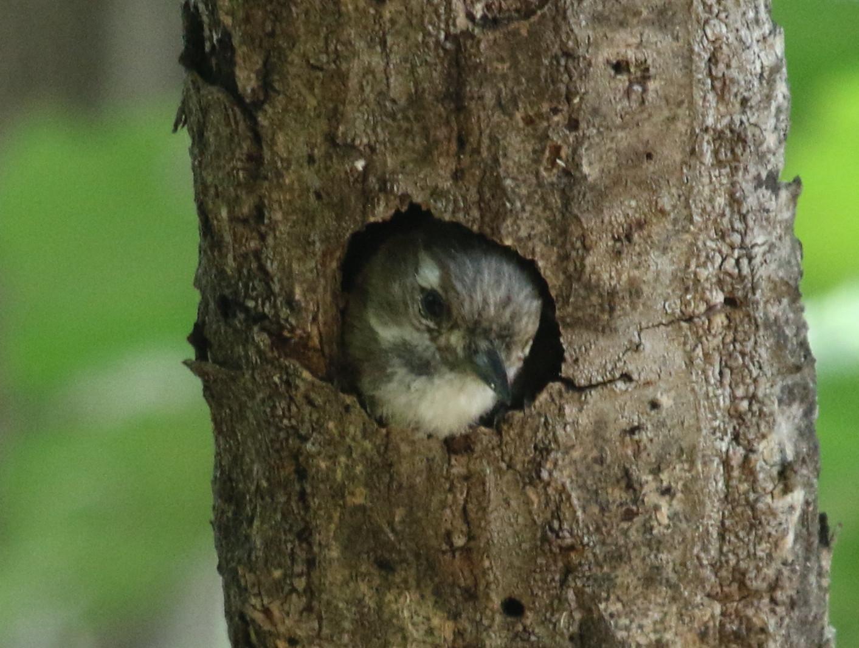 コゲラの巣穴からの顔出し_f0239515_1830568.jpg