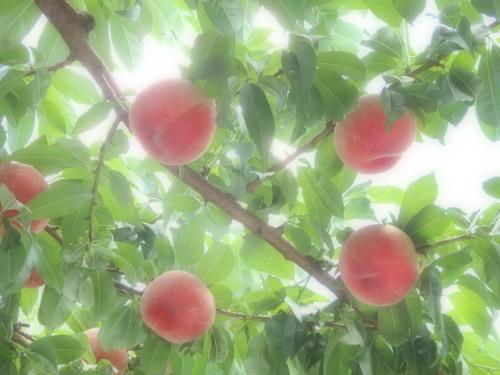 桃畑のパロラマ撮影_f0325525_06084979.jpg