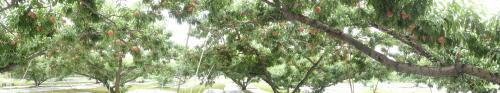 桃畑のパロラマ撮影_f0325525_06115454.jpg