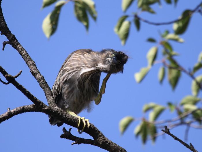 ササゴイの幼鳥 巣立ち後の姿_f0239515_21281239.jpg