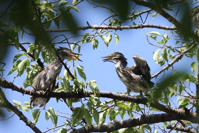 ササゴイの幼鳥 巣立ち後の姿_f0239515_21284142.jpg