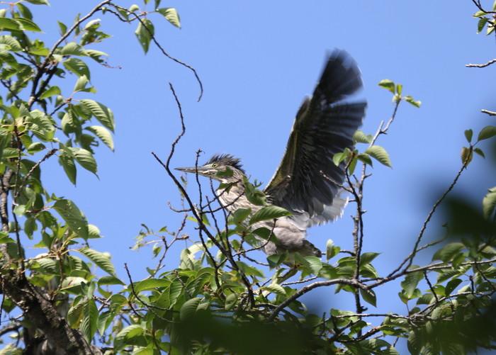 ササゴイの幼鳥 巣立ち後の姿_f0239515_21291376.jpg