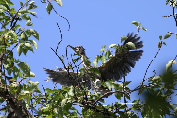 ササゴイの幼鳥 巣立ち後の姿_f0239515_21294256.jpg