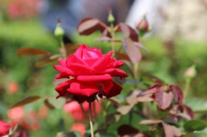 旧古河庭園のバラ♪ 4_d0152261_14215221.jpg
