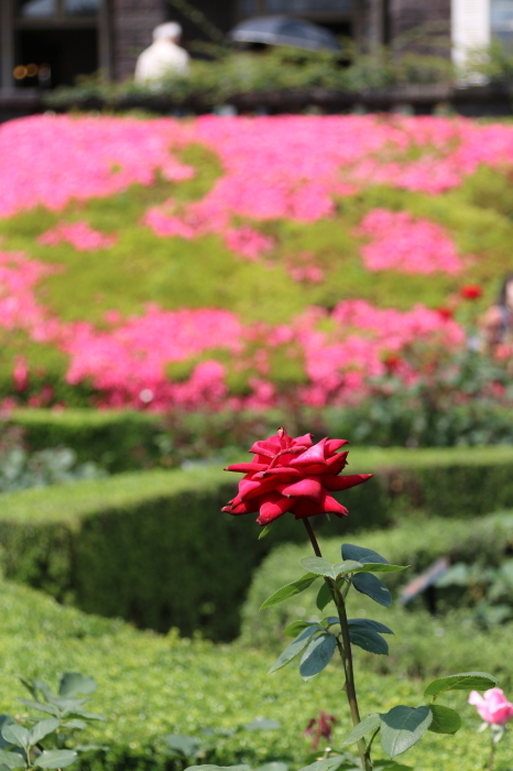 旧古河庭園のバラ♪ 4_d0152261_14242168.jpg