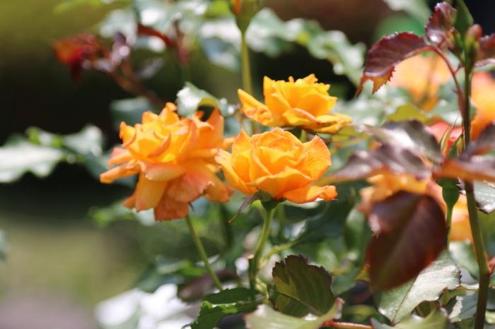 旧古河庭園のバラ♪ 4_d0152261_14243669.jpg