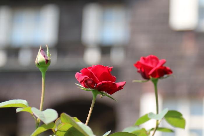 旧古河庭園のバラ♪ 4_d0152261_14250754.jpg