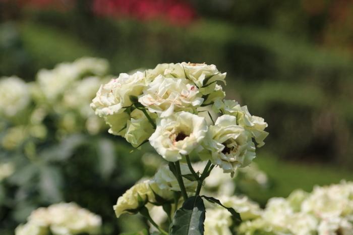 旧古河庭園のバラ♪ 4_d0152261_14260425.jpg