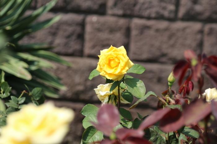 旧古河庭園のバラ♪ 4_d0152261_14261713.jpg