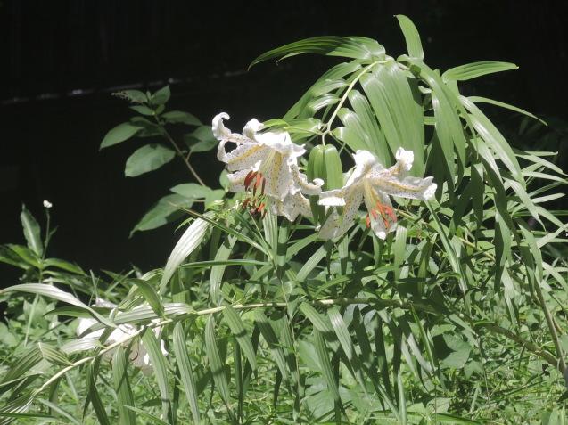 大きなヤマユリが咲いていました_e0232277_15411412.jpg