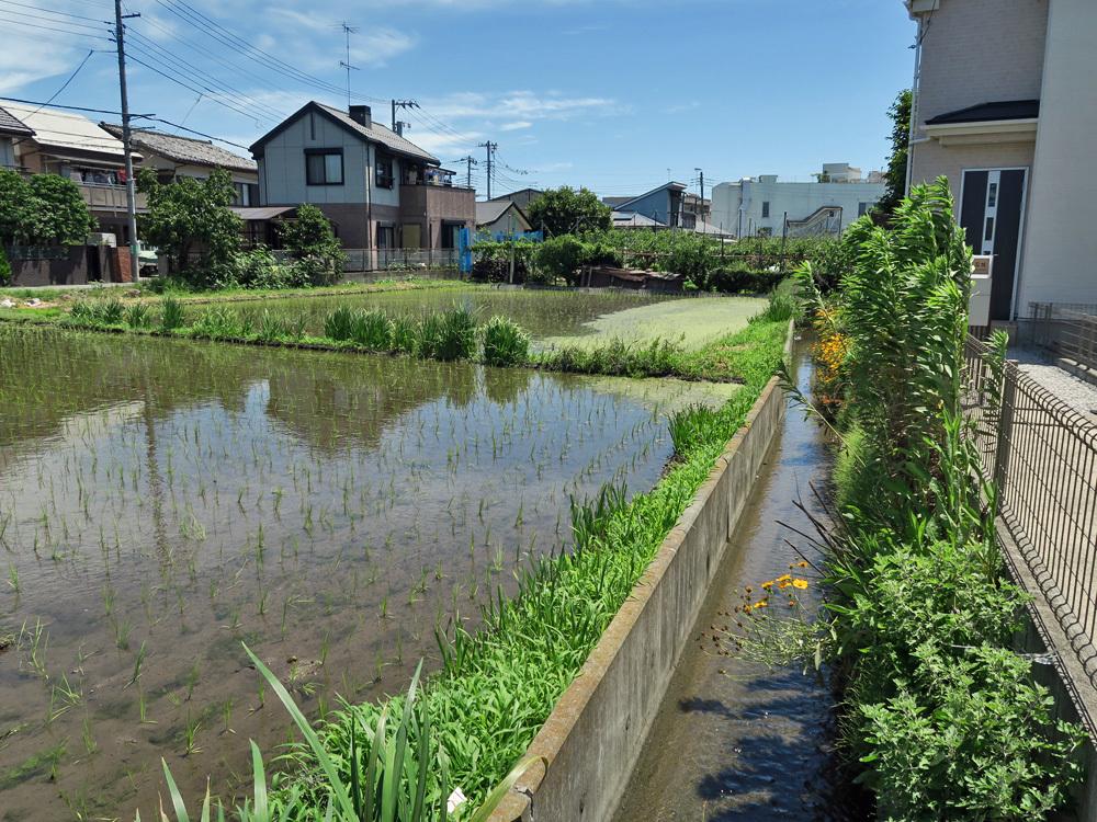 生きている暗渠を探せ!四谷用水流末の田んぼへの給水ルートを探る_c0163001_22490448.jpg