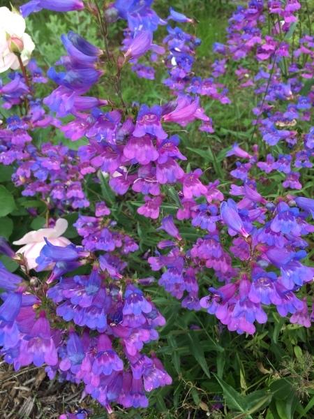 ヘブンリーブルーの咲く朝に_f0377507_14580235.jpeg