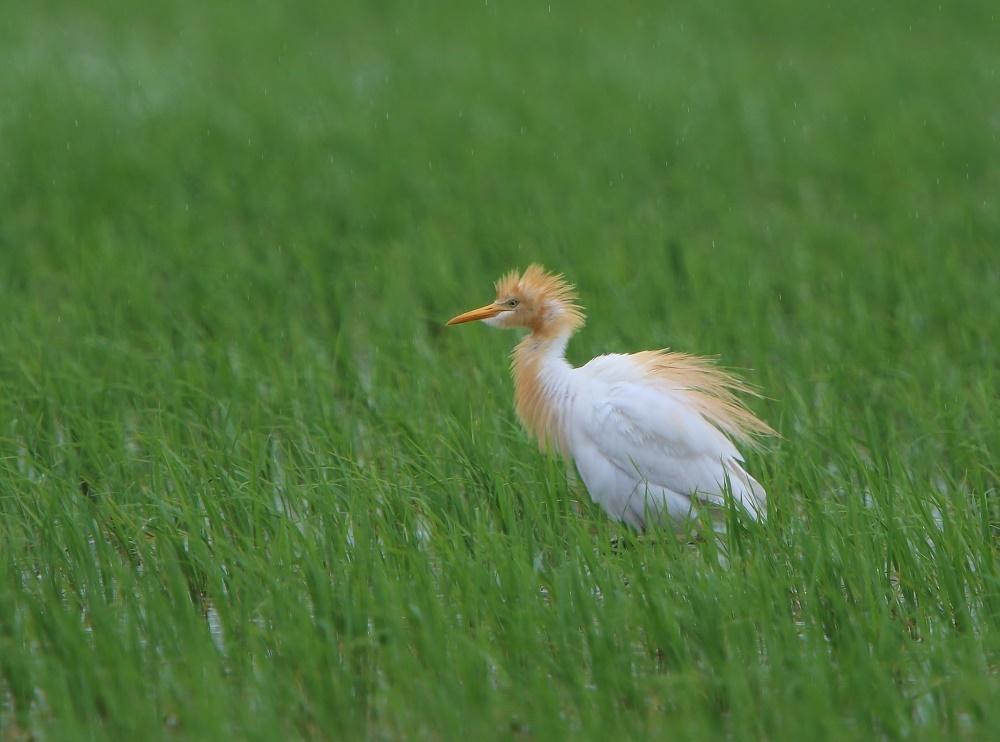 雨の中の田んぼで、、アマサギを、_f0305401_18105908.jpg