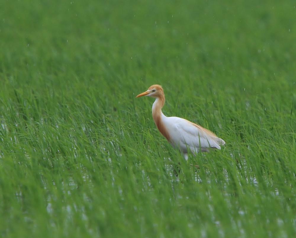 雨の中の田んぼで、、アマサギを、_f0305401_18110576.jpg