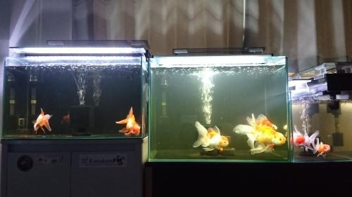 近況と金魚の記録♪♪_b0298605_03365590.jpg