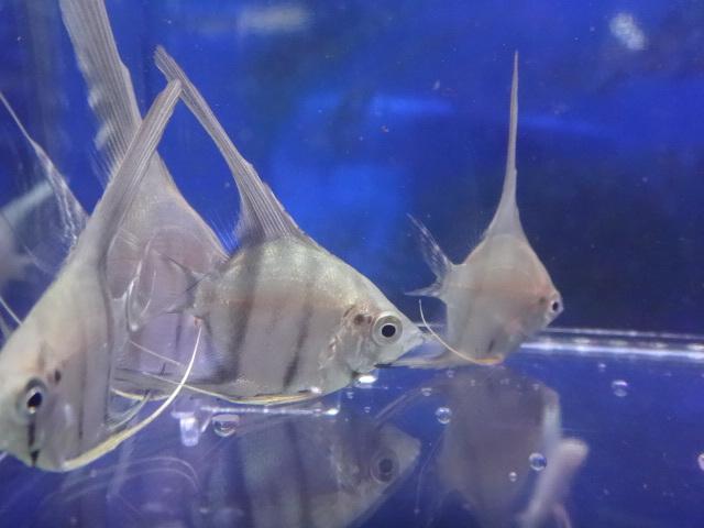 180705 熱帯魚 金魚 めだか 水草 観葉植物_f0189122_13260202.jpg