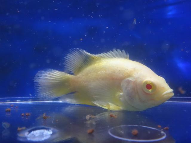 180705 熱帯魚 金魚 めだか 水草 観葉植物_f0189122_13342734.jpg
