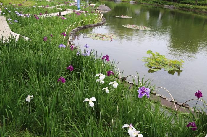 昭和記念公園散策♪日本庭園のハナショウブ 3_d0152261_13360305.jpg
