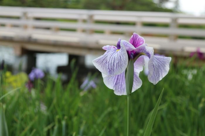 昭和記念公園散策♪日本庭園のハナショウブ 3_d0152261_13375951.jpg