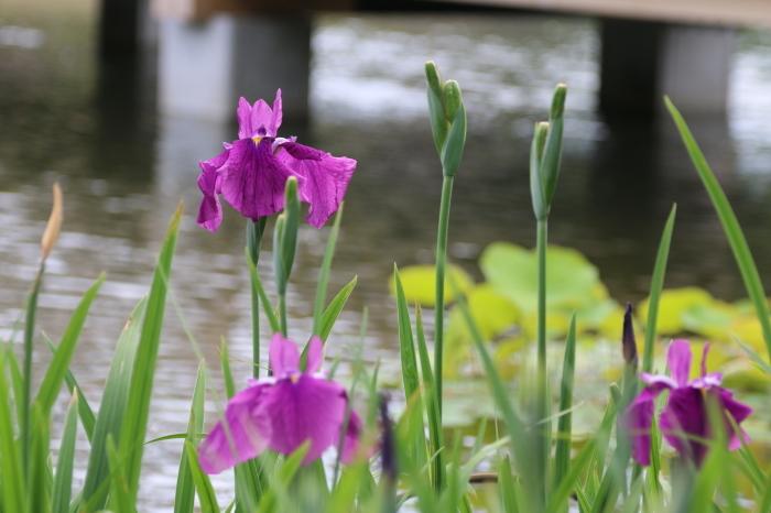 昭和記念公園散策♪日本庭園のハナショウブ 3_d0152261_13381615.jpg