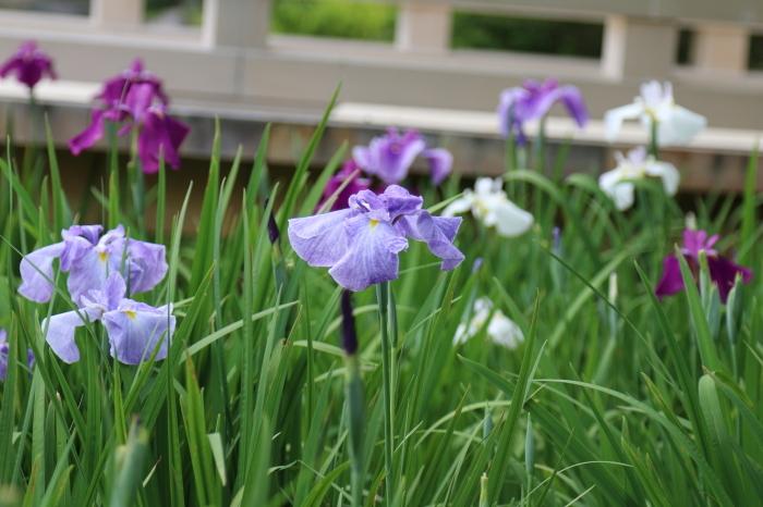 昭和記念公園散策♪日本庭園のハナショウブ 3_d0152261_13383345.jpg
