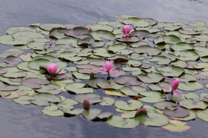 昭和記念公園散策♪日本庭園のハナショウブ 3_d0152261_13393684.jpg