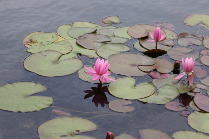 昭和記念公園散策♪日本庭園のハナショウブ 3_d0152261_13394981.jpg
