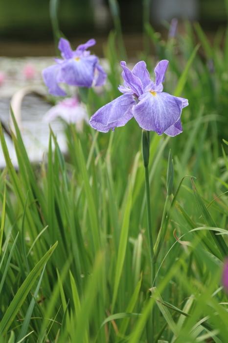 昭和記念公園散策♪日本庭園のハナショウブ 3_d0152261_13403719.jpg