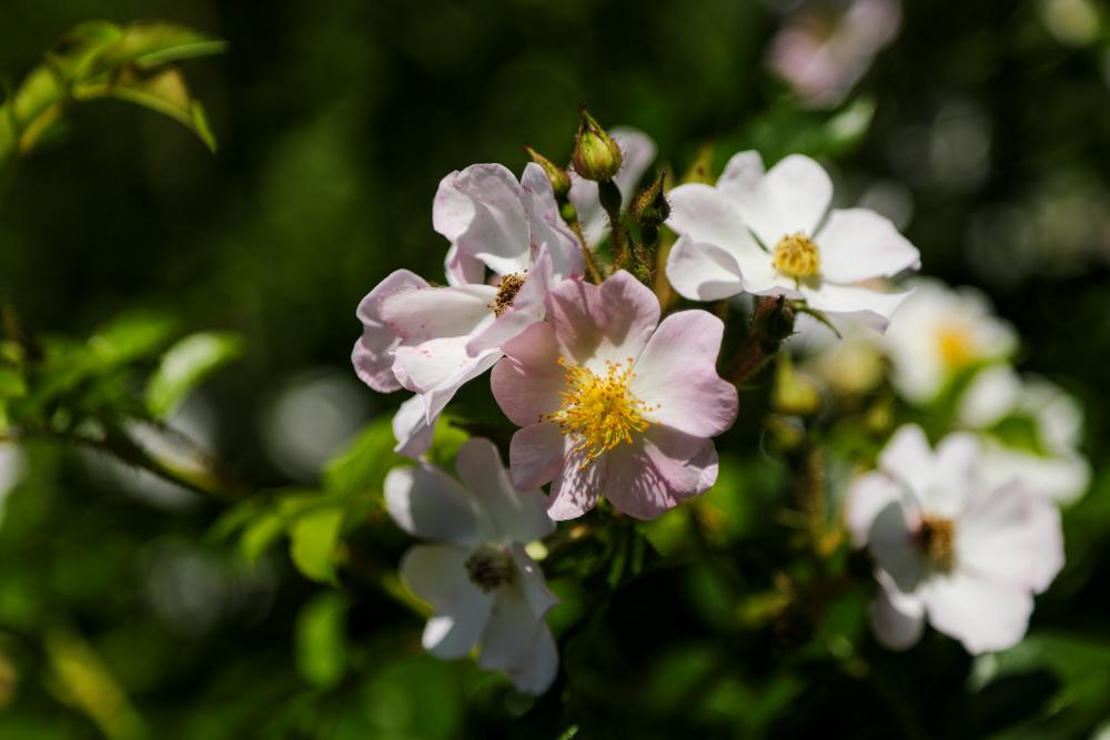野薔薇のような_c0252695_10113438.jpg