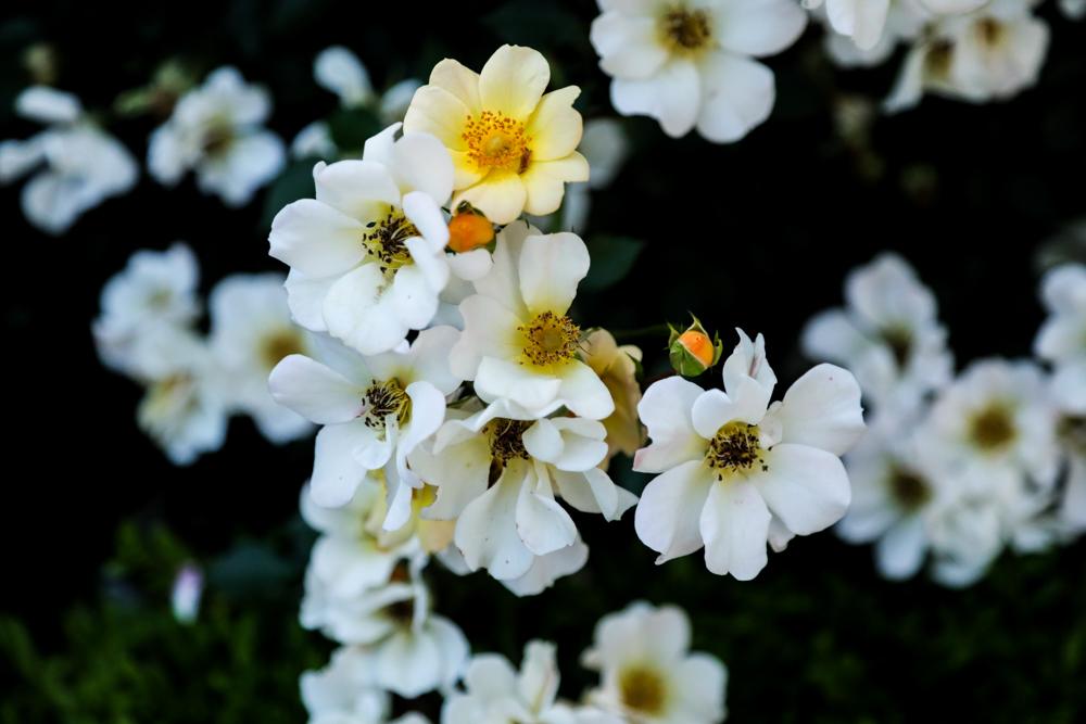 野薔薇のような_c0252695_10115962.jpg