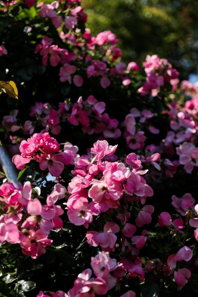 野薔薇のような_c0252695_10123831.jpg