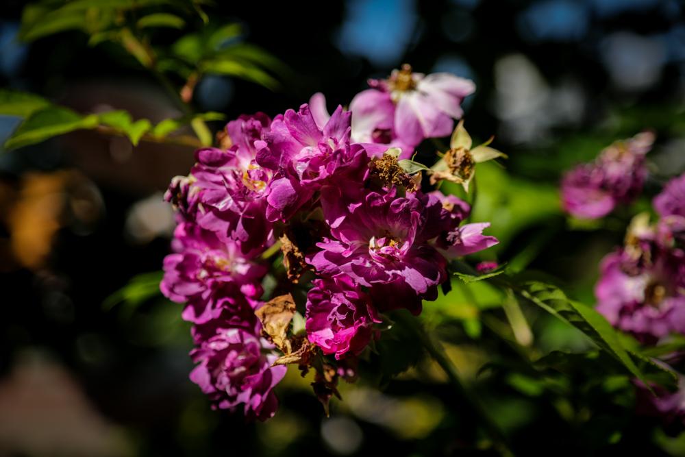 野薔薇のような_c0252695_10125974.jpg