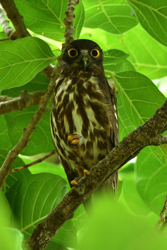 アオバズク(Brown hawk owl)/2018.06_b0148352_11492522.jpg