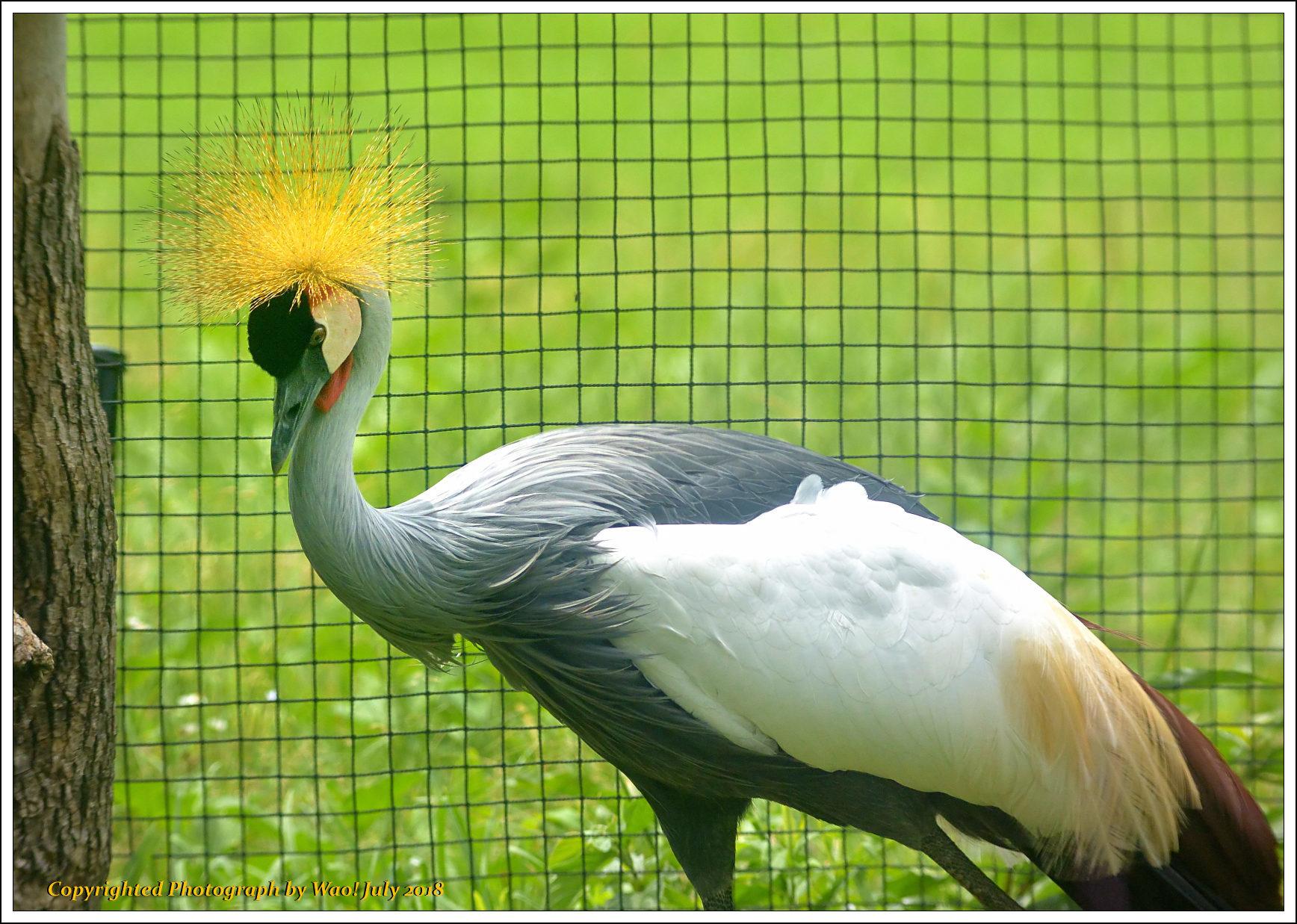ホオジロカンムリヅル 野鳥園_c0198669_17234882.jpg